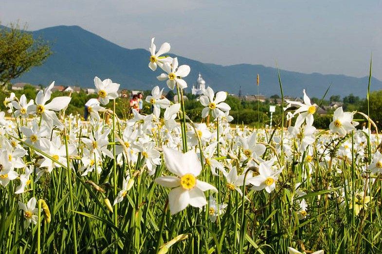 Долина нарцисів, 4 км від Хуста розташована долина вузьколистого нарциса – найбільше місце скупчення рідкісних квітів у Європі. Лише раз у рік –  у травні - можна спостерігати цю красу.