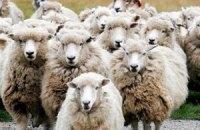В Австралии сотни овец высыпались на шоссе