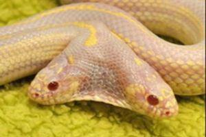 Ялтинский зоопарк арендовал двухголовую змею