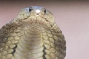 В Чернигове появилась кобра