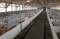 Из-за африканской чумы во Львовской области забили 102 тыс. свиней