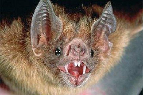 Минздрав: летучие мыши являются самым вероятным резервуаром коронавируса