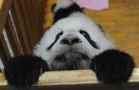 Пятничная панда #36