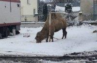 Грузинський цирк після гастролей у Хоросткові залишив верблюда