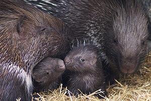В Киевском зоопарке родились трое дикобразов