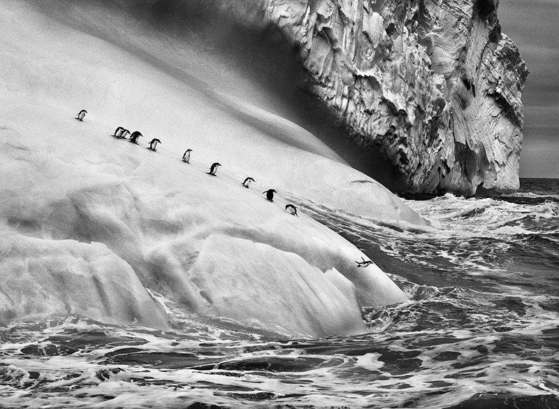 Антарктические пингвины (Pygoscelis antarctica) на айсберге между островом Заводовский и Высокий. Южные Сандвичевы острова. 2009