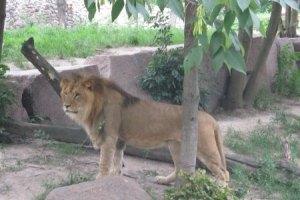У Тбілісі лев загриз людину