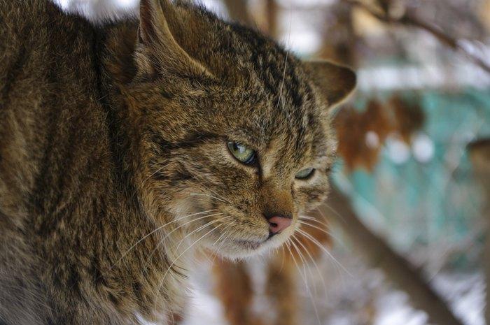 Ася - дика кішка у приватному утриманні