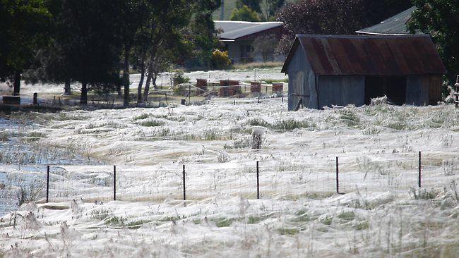 Павуки в Австралії