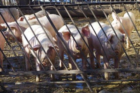Українські свиноферми перевірять через спалах АЧС