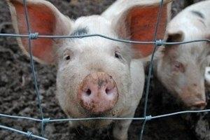 Россия приостановила сертификацию украинской свинины