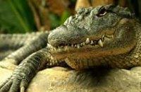 Днепропетровского крокодила Гену пока не будут оперировать