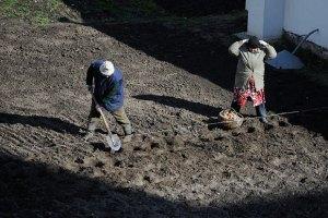 В Украине стремительно дорожает картофель