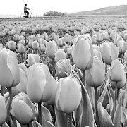 Голландія: квітковий бум