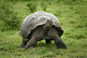 Умерла последняя в мире гигантская галапагосская черепаха