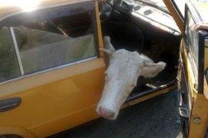 """Житель Вінницької області намагався вивезти крадену корову в салоні """"копійки"""""""