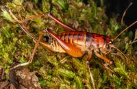 На честь прем'єрки Нової Зеландії назвали новий вид коника