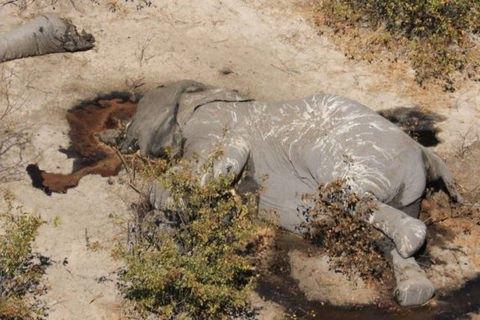 Вчені знайшли причину загадкової загибелі сотень слонів у Ботсвані