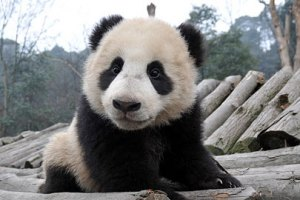 П'ятнична панда #93