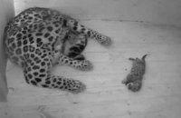 Таллинский зоопарк провел трансляцию рождения амурских леопардов