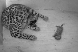 У Тольятті цирковий леопард напав на дітей