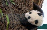 Пятничная панда #176