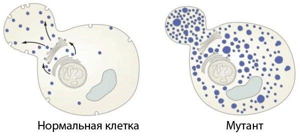 Исследование генов везикулярного транспорта. Шекман открыл гены белков, являющихся ключевыми регуляторами везикулярного транспорта. Сравнивая «нормальные» клетки дрожжей с генно-инженерными мутантами с нарушениями транспорта, он выявил гены, отвечающие за транспорт в различные компартменты и на поверхность клетки.