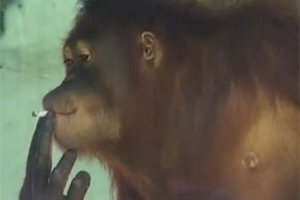 Мавпу-курця відправлять на реабілітацію