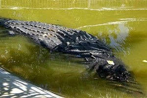 Гигантского крокодила проверят на стресс