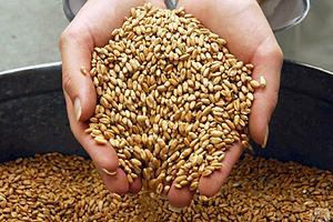 Зерно в 2011 году подорожает на 28%