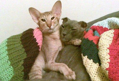 Читательница Оксана написала нам: Я из Киева, имея двух котов, а, следственно много фото, делюсь с вами наилучшими. Рыжий -- ориентал, а серый -- украинский левкой.
