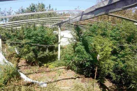 У Херсонській області виявили плантацію конопель на 1,5 млн гривень