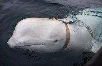 У Норвегії рибалки виявили дресировану білугу з ременем для GoPro