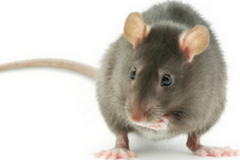 Останутся безнаказанными: вИндии крысы выпили практически весь конфискованный спирт