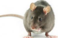 В Индии полицейские обвинили крыс в уничтожении тысячи литров изъятого алкоголя