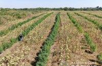 На Запоріжжі виявили плантацію конопель на 10 млн гривень