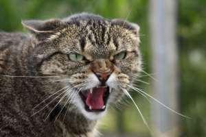 В Сумской области бешеный кот покусал 6 человек