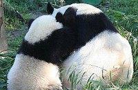 Пятничная панда #40
