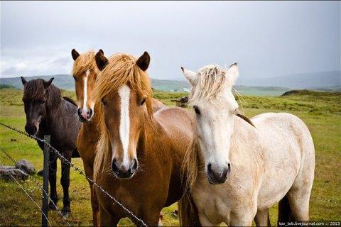 В США предложили убить 45 тыс. диких лошадей для расширения пастбищ