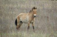 Популяцию лошадей Пржевальского в зоне отчуждения оценили в 110 особей
