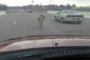 В Огайо из грузовика на дорогу выпал олень
