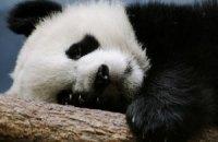 П'ятнична панда #91