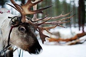 На российско-финской границе застряли северные олени