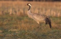 """Стала известна причина гибели краснокнижных птиц в """"Аскании-Нова"""""""