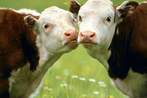 """У столиці Дагестану з'явилися """"арештмайданчики"""" для корів"""