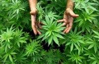 Американская компания хочет выращивать каннабис в Украине
