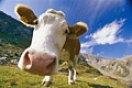 Корови - головний ворог здоров'я