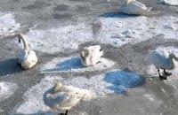 Активісти звільнили 70 лебедів, які примерзли до льоду в Житомирській області (ОНОВЛЕНО)