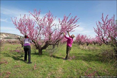 Двох жителів Сімферополя затримали за крадіжку персиків з приватного саду