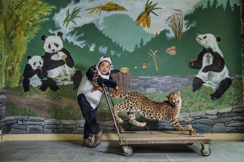 Смотритель за пандами использует чучело леопарда, чтобы научить своих подопечных бояться хищников, а также другим навыкам, необходимым для выживания в дикой природе, Китай.